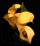 Golden Trumpets by LynEve, Photography->Flowers gallery