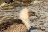 Bird of Prey in Winter by Machpiya, Photography->Animals gallery