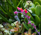 A Pretty Succulent by Pistos, photography->flowers gallery