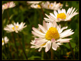 Daisies by StarLite, photography->flowers gallery