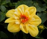 Sunny Dahlia by trixxie17, photography->flowers gallery