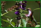 Calendar Hummer #3 by tigger3, photography->birds gallery