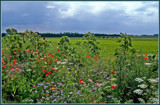 Summer Wildflowers 12 by corngrowth, Photography->Landscape gallery