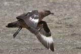 Skua by jeenie11, photography->birds gallery