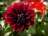 """Dark Night"" Dahlia by trixxie17, photography->flowers gallery"