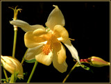 Columbine by trixxie17, photography->flowers gallery