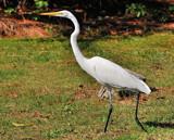 Strut by SR21, Photography->Birds gallery