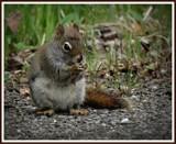 Sqiurrel by GIGIBL, photography->animals gallery