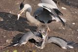 Great blue egret fighting over fish by Paul_Gerritsen, Photography->Birds gallery
