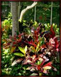 Croton Garden - Kauai by trixxie17, photography->gardens gallery