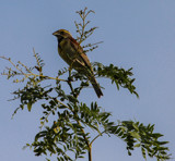 Grosbeak by Pistos, photography->birds gallery