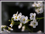 tiny white flowers............... by fogz, Photography->Flowers gallery