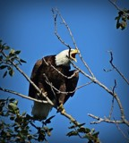 Bald Eagle # 12 by picardroe, photography->birds gallery