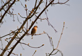 The Chaffy and the Cherry Tree by slybri, Photography->Birds gallery