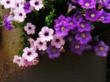 Petunias 2 by Pixleslie, Photography->Flowers gallery
