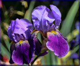Garden Blooms #3_Iris Delight by tigger3, photography->flowers gallery