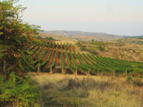 Vineyard by Tedi, photography->landscape gallery