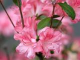 azaleas by jeenie11, Photography->Flowers gallery