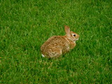 A Rabbit On My Lawn by ohpampered1, Photography->Animals gallery