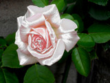 Satin Rose by rvdb, photography->manipulation gallery
