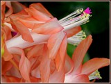 Christmas Cactus 2 by trixxie17, holidays->christmas gallery