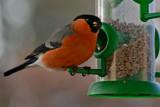 Male Bullfinch by Ramad, photography->birds gallery