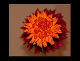 The Beauty Of The Dahlia _ seventh posting by tigger3, Photography->Flowers gallery