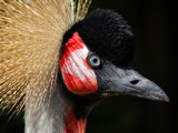 kroonkraanvogel aka black crowned Crane by wimgroen, Photography->Birds gallery