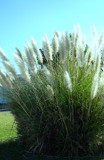 Pampas Grass In Sun and Wind by Telstar, Photography->Nature gallery