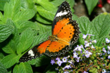 Orange Black Tip by rahto, Photography->Butterflies gallery