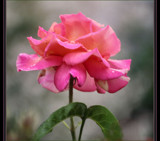 A Rose in all it's Glory! by verenabloo, Photography->Flowers gallery