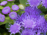 Ageratum #1 by Surfcat, Photography->Flowers gallery