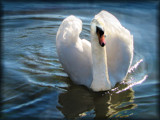Swan by Papi11on, Photography->Birds gallery