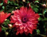 Odd Mum by trixxie17, photography->flowers gallery