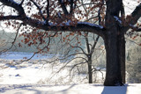 Winter Oaks by Silvanus, photography->landscape gallery