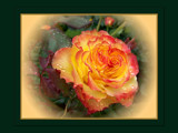 Citrus Shades 5 - A Rose for Christmas by LynEve, Photography->Flowers gallery