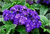 Heliotrope by trixxie17, photography->flowers gallery
