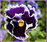 Another Spring 2017 Pansy by trixxie17, photography->flowers gallery