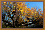 'Golden' Tree 2 (of 2) by corngrowth, Photography->Nature gallery