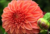 In The Dahlia Garden #6 Peachy petals by LynEve, photography->flowers gallery