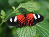 Little Red by bpetersen, Photography->Butterflies gallery