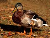 Autumn Duck by tigger3, photography->birds gallery