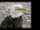 Patriot by Hottrockin, Photography->Birds gallery