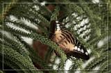 Butterfly Twenty by Jimbobedsel, Photography->Butterflies gallery