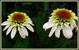 Twin Coneflowers by trixxie17, photography->flowers gallery