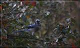 Blue Jay Way by Jimbobedsel, photography->birds gallery