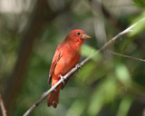 Summer Tanager by garrettparkinson, photography->birds gallery