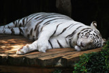 White Tiger by kmgranier116, Photography->Animals gallery