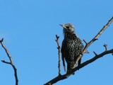 Starling by Si, Photography->Birds gallery