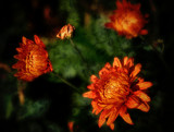 Another Autumn Sign by cynlee, photography->flowers gallery